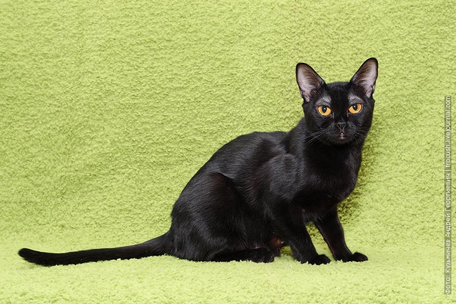 Бомбейская кошка чемпион WCF