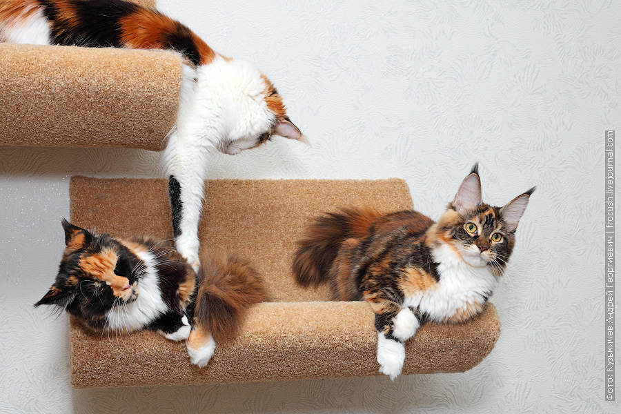 кошки Мейн-кун черепахового окраса из питомника в Москве