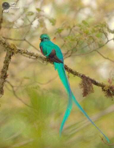Красивые и свободолюбивые птицы — Квезали
