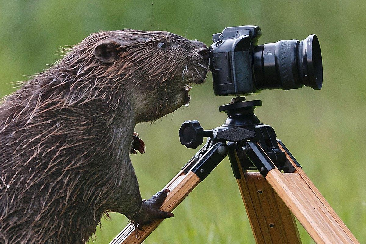 Beaver Logs On Laptop