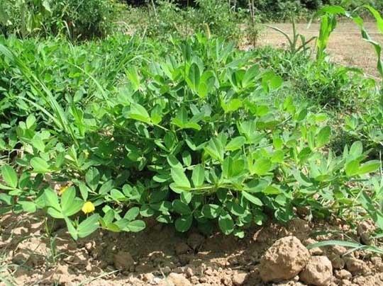 Арахис- семейство ореха или бобовых культур