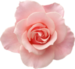 Holliewood_RoseIsARose_Rose17.png