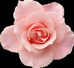 Holliewood_RoseIsARose_Rose17.png