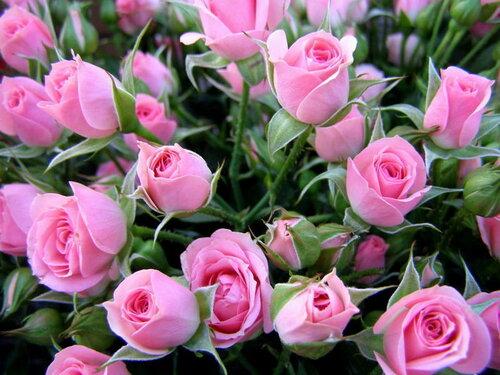 Много розовых роз для тебя! открытка поздравление картинка