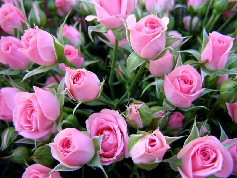 Много розовых роз для тебя! открытки фото рисунки картинки поздравления