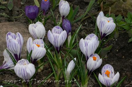 Фото живых цветов. Крокусы фото.