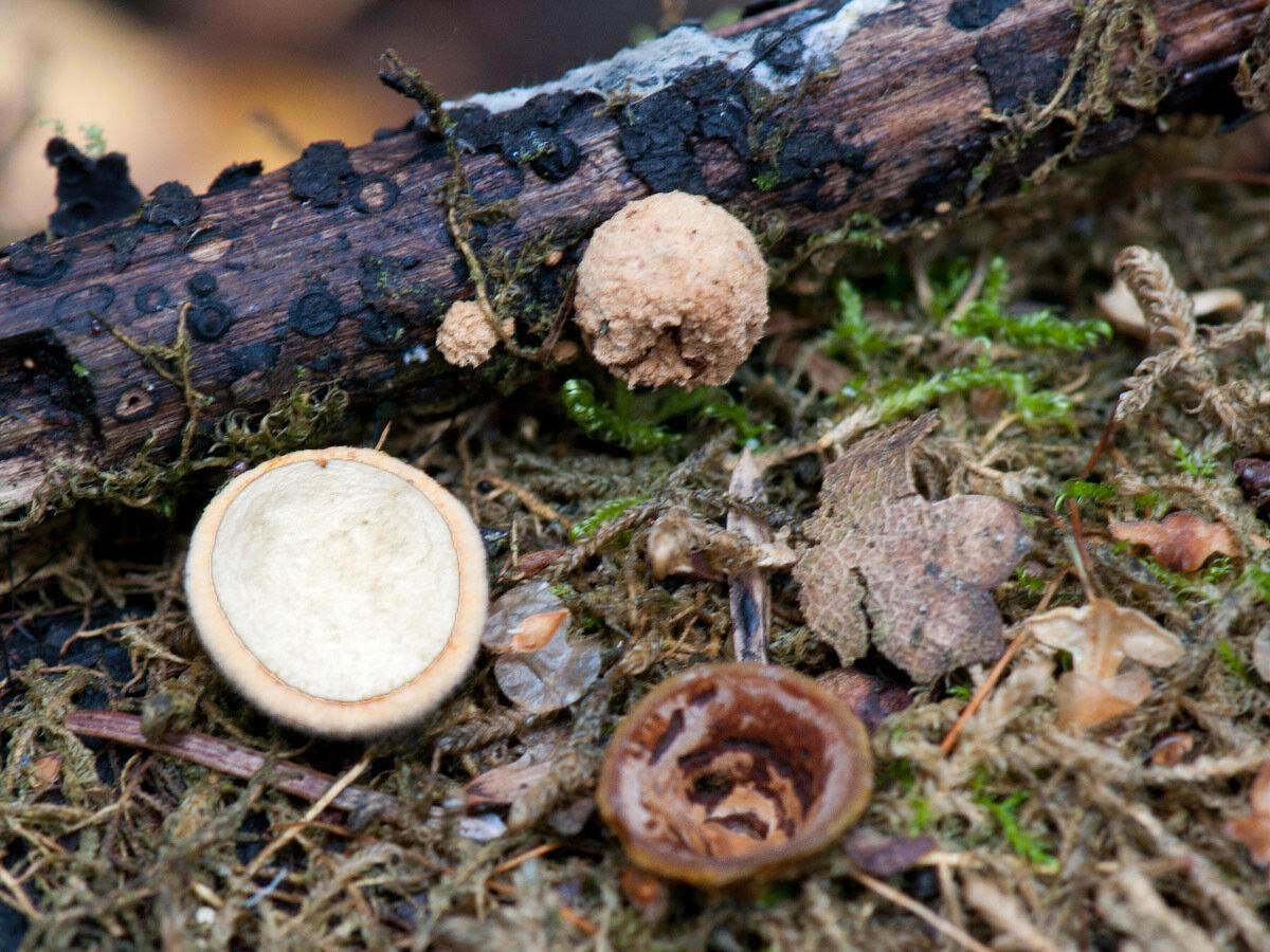 Бокальчик гладкий (Crucibulum laeve) Автор фото: Владимир Брюхов