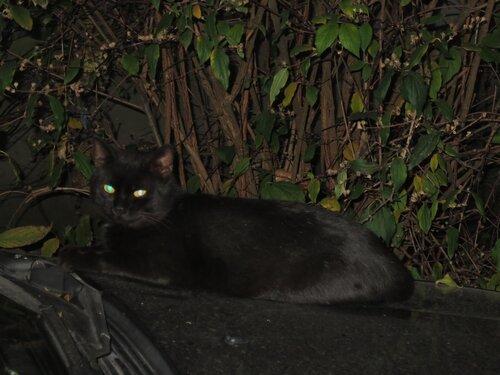 Чёрный кот на чёрном авто