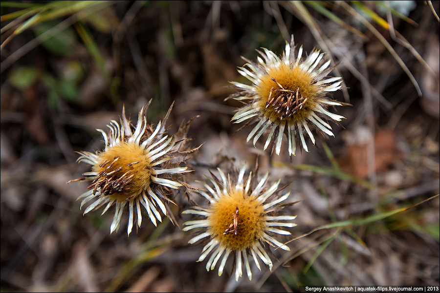 Осенние цветы Чатырдага