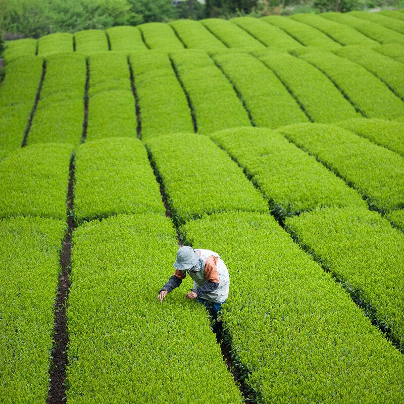 Выращивание зелёный чай 36