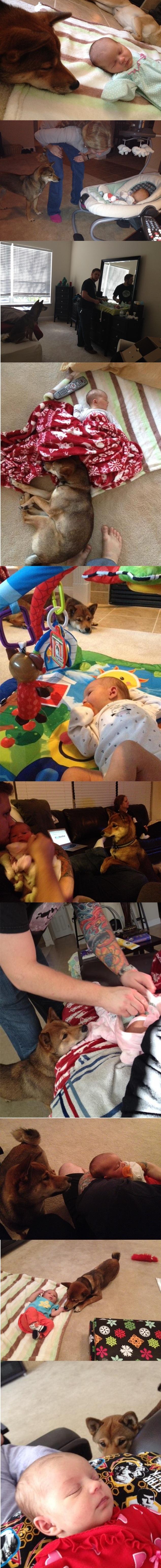 Собака решила, что новорожденный ребенок её, и теперь не отходит от него