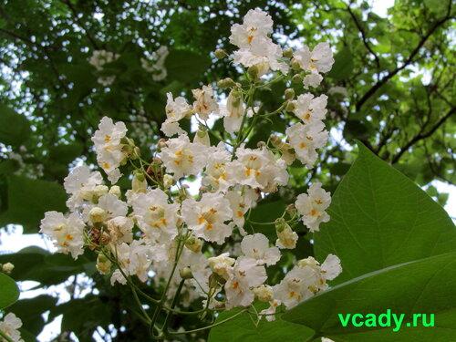 цветок катальпы