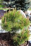Pinus mugo Ophir-май