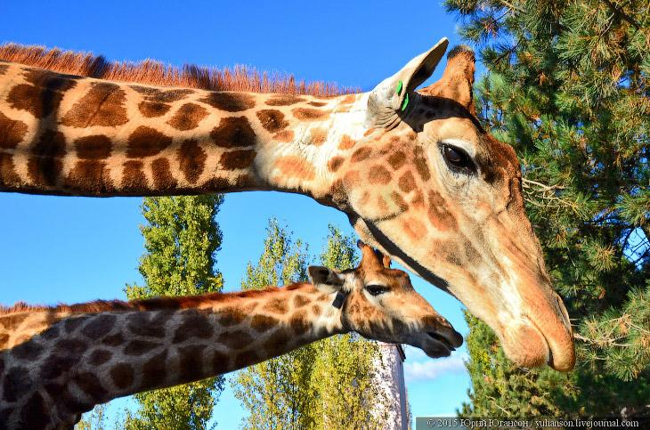 2. Определились? Теперь надо привлечь жирафа. В парке работают лотки по продаже корма, но на тот мом