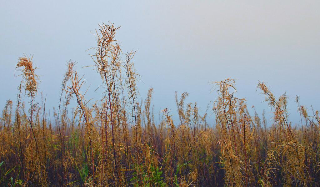Загадочные соцветия иван-чая. Пример пейзажа на зеркальный фотоаппарат Никон Д5100 КИТ 18-55.