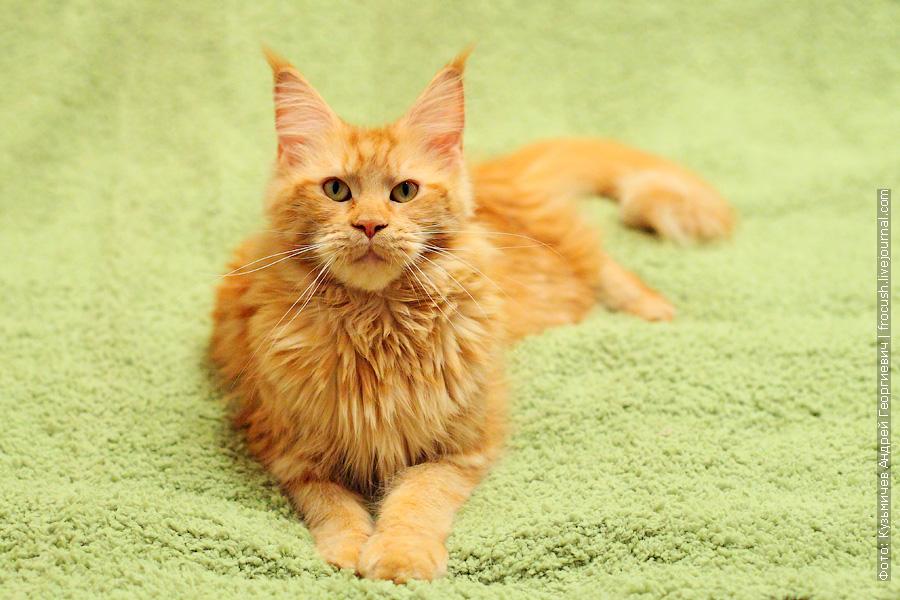 мейн кун кошка красный солид