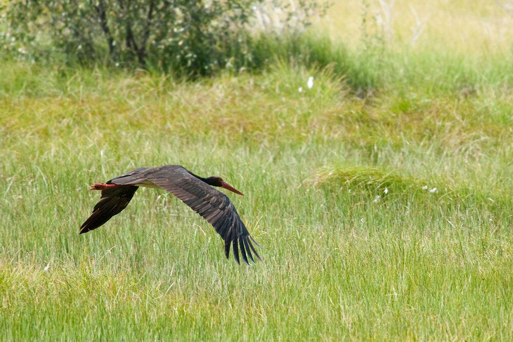 Чёрный аист (Ciconia nigra)