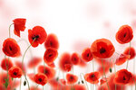 Poppies (4).jpg