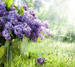 Lilac (1).jpg