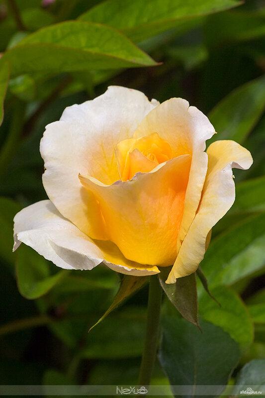 Я люблю все цветы, часть 69   Розы «Helena» и «Sophia Renaissance».