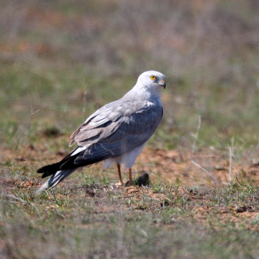 Male hen harrier photos Northumberland Tyneside Bird Club