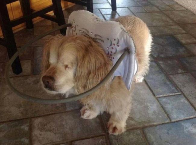 Специальный обруч помогает слепой собаке не биться головой о препятствия.
