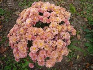 Хризантема. Из цветника Елены Николаевны Андриенковой