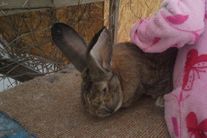 Бельгийский Великан(Обр,Ризен,Фландр) Кролики гиганты.часть 2 - Страница 5 0_d4e5f_470ac08e_XL
