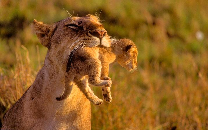 Львица и малыш - животные из дикой природы, интересные кадры