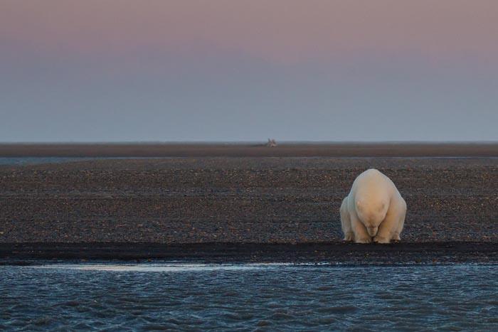 Фотограф приехала на Аляску, чтобы пофотографировать белых медведей, но не нашла там снега (7 фото)