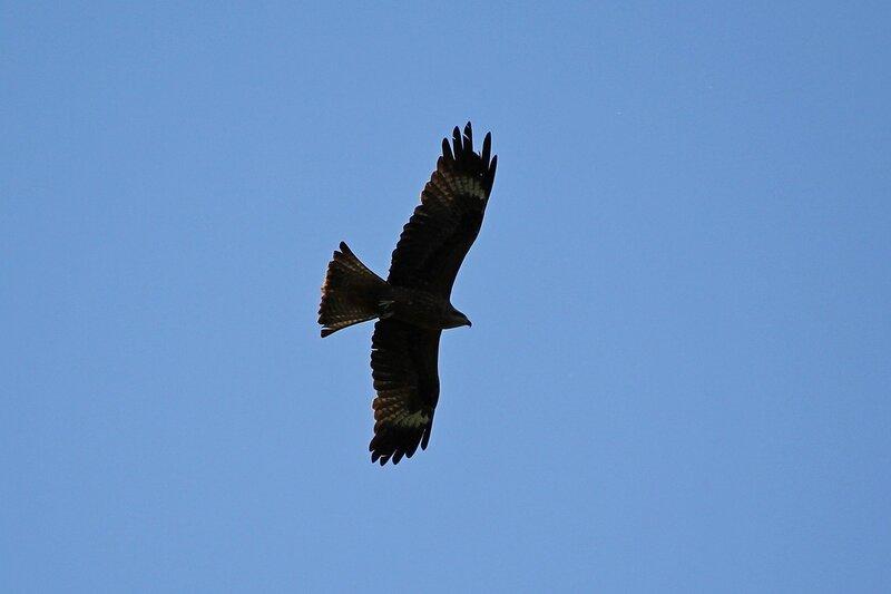 Чёрный коршун (Milvus migrans) с потрёпанными маховыми перьями