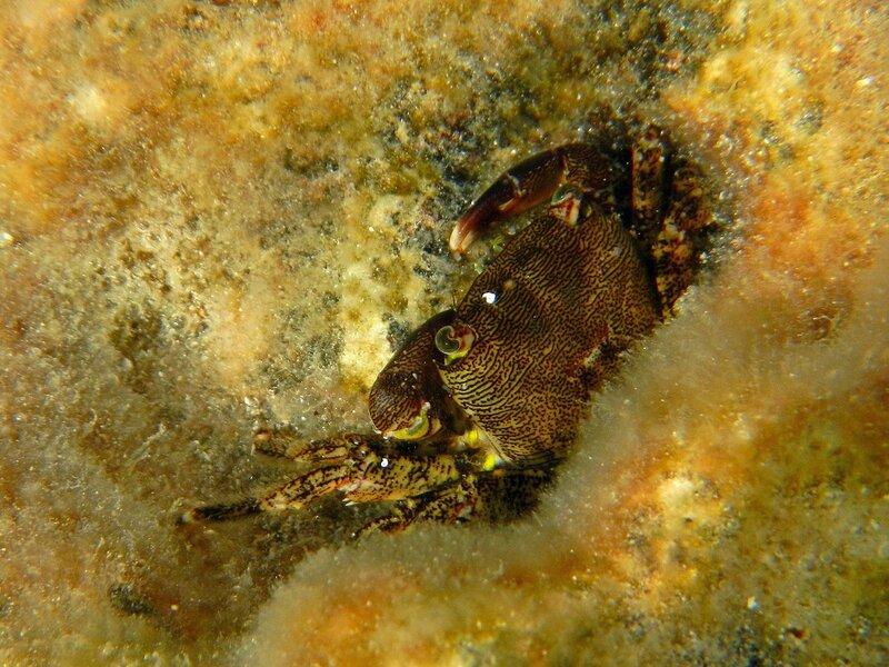 Краб на дне среди водорослей и радужных бликов от морских волн