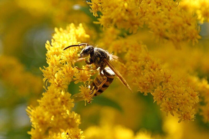 Полосатая оса на жёлтых цветках северной мимозы 7327