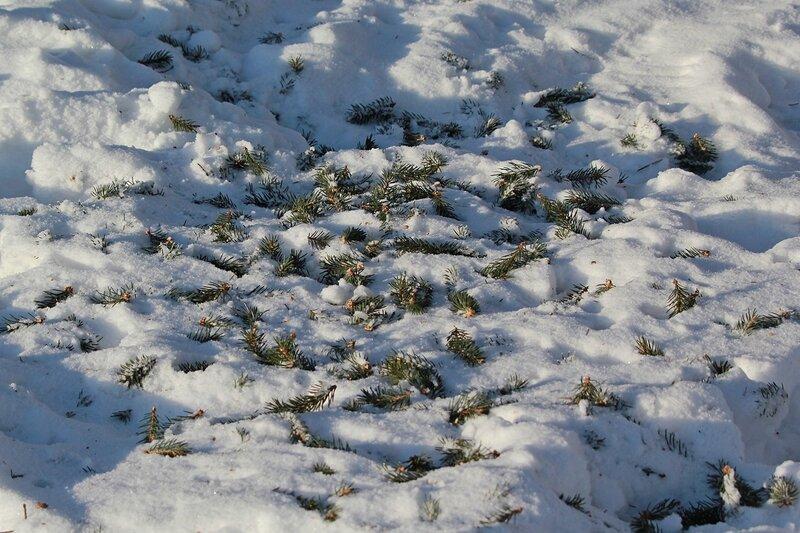 IMG_1935 оборванные белочкой во время «стрижки» еловые ветки
