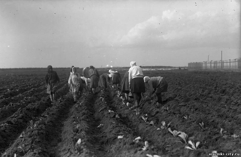 Посадка капусты в пригородном хозяйстве фабрики Свободный пролетарий 1931