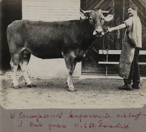 Призовая корова
