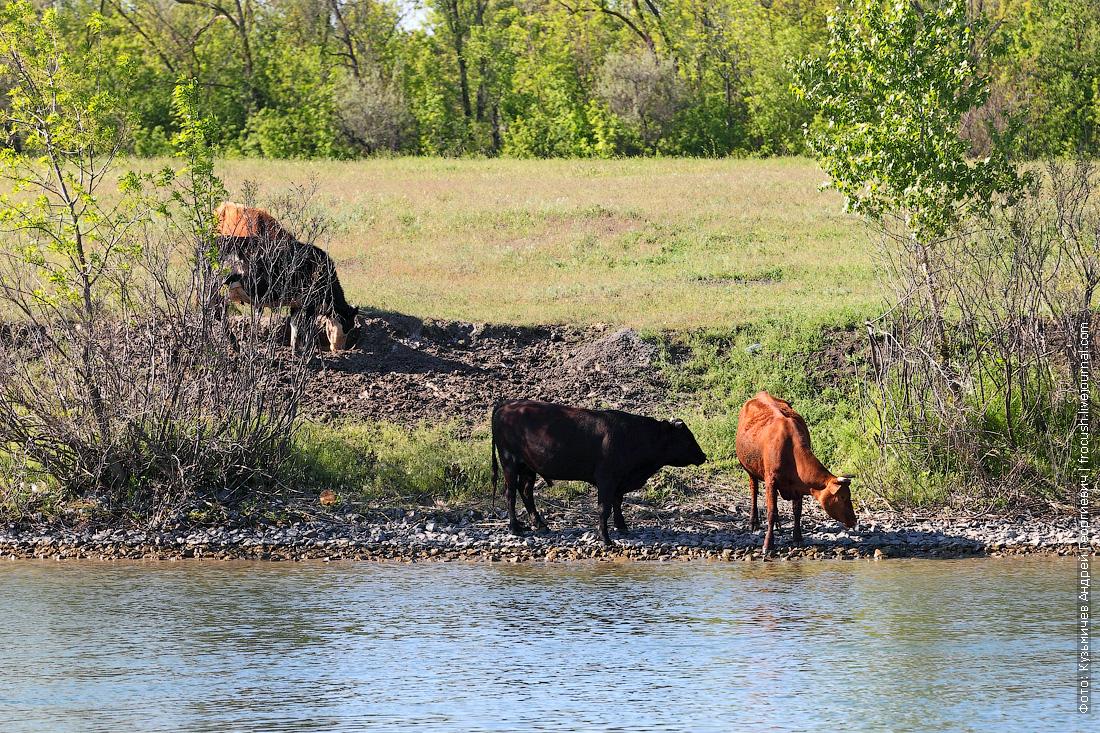 коровы на берегу Дона