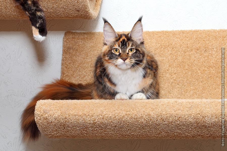 Мейн-кун кошка черепашка
