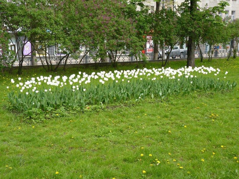 Тюльпаны на псковских клумбах