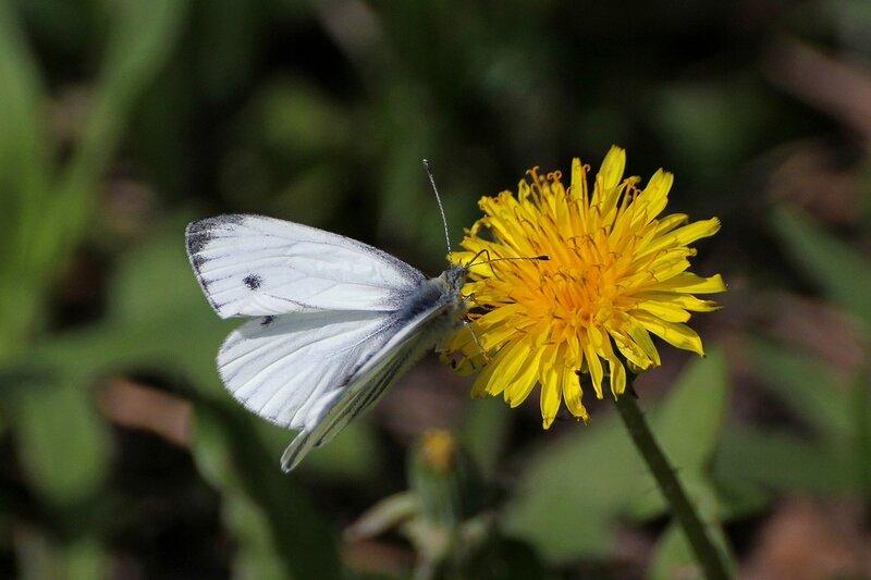Бабочка-капустница из семейства белянок на цветке одуванчика