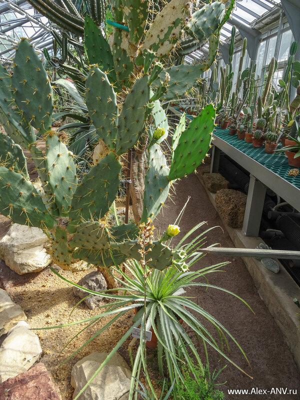 Проходы достаточно узкие, и приходится постоянно следить, чтобы не задеть какое-нибудь растение. Ведь кактусы неуклюжести не прощают. :)