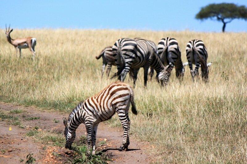 Зебра с коричневыми полосками.jpg
