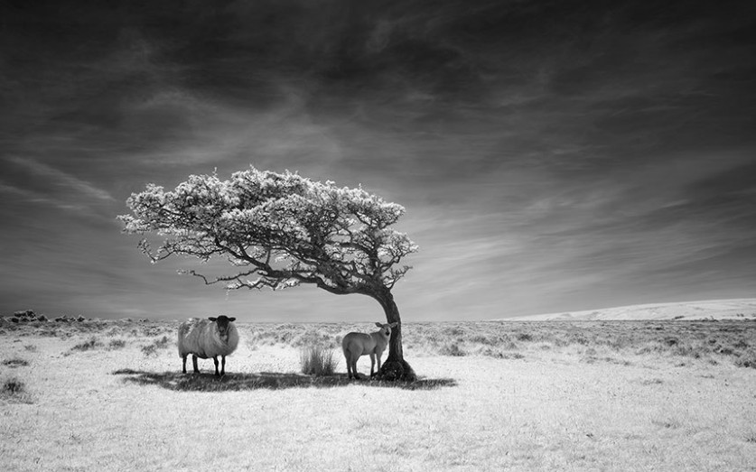 Овцы в тени дерева в Национальном парке Эксмур в Норт-Девоне, Англия.