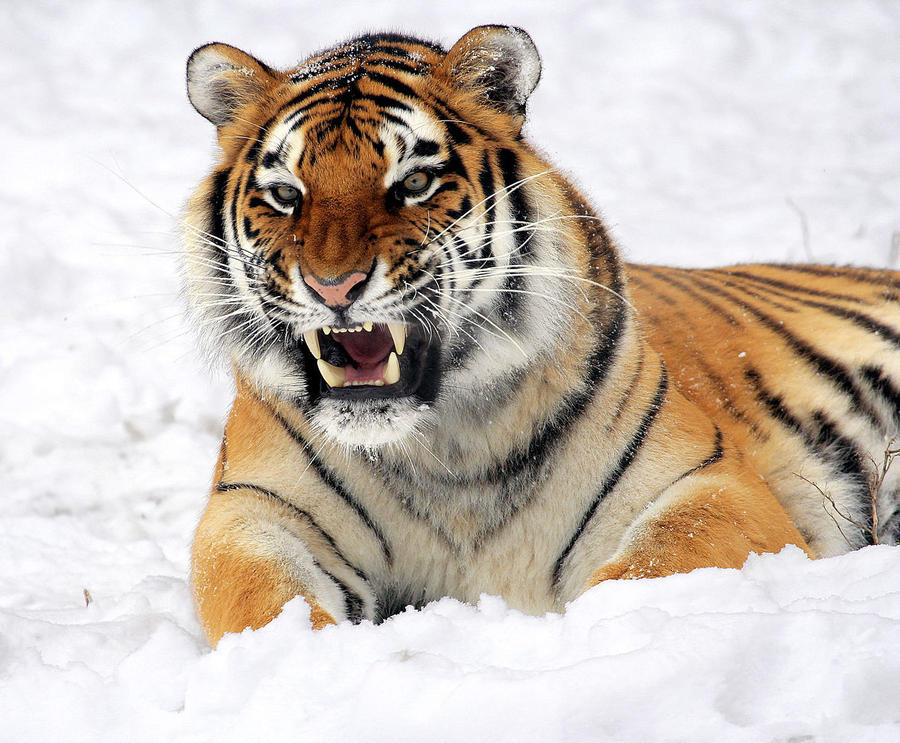 2. Тигр Только в прошлом веке было истреблено целых три вида тигров – балийский, закавказский и яван
