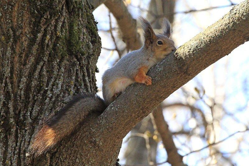 Сонная белочка лежит на дереве, обняв ветку