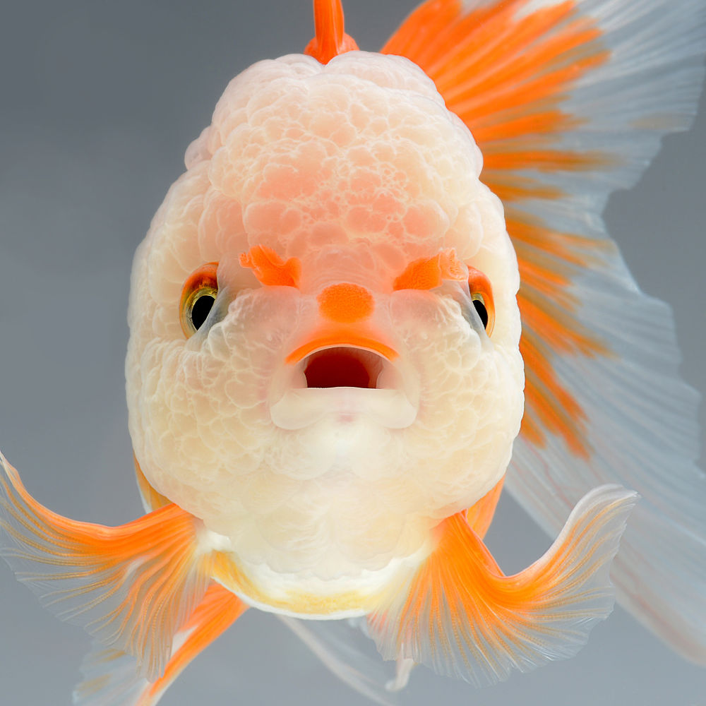 Ah yes, the majestic… goldfish. Photographer Visarute Angkatavanich (previously here and here