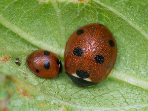 Коровка семиточечная (Coccinella septempunctata)Альбом:  Мир под ногами /  Жесткокрылые или жуки / Coccinellidae - Божьи коровки