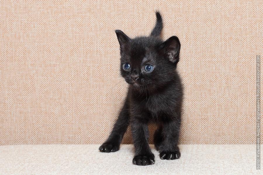 Бомбейский котенок Москва