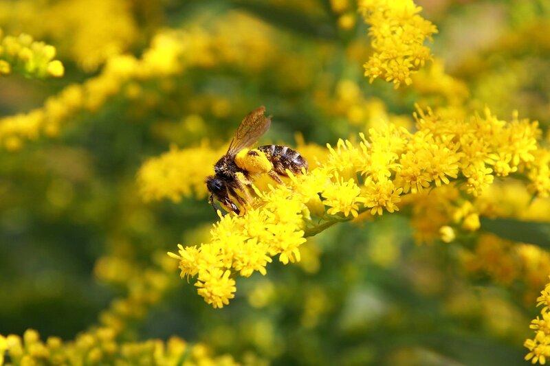 Пчела собирает нектар и пыльцу на жёлтом цветке северной мимозы 6982