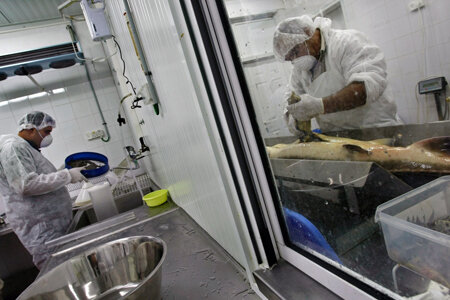 KIBBUTZ DAN, ISRAEL - APRIL 22: An Arab worker (R) harvests thousands of tiny eggs from a just-slaughtered sturgeon while another worker prepares caviar for packing in a sterile room at the Galilee Caviar's processing plant on April 22, 2009 in Kibbutz D